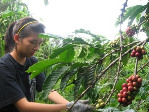 Harvesting coffee bean in Youth Project.